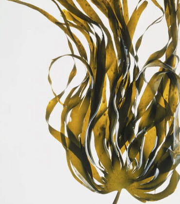 Seaweed Fiber: The Newest Key to Weight Loss?